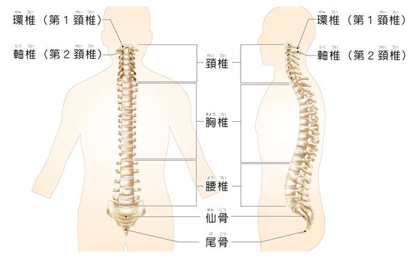 脊椎イラスト
